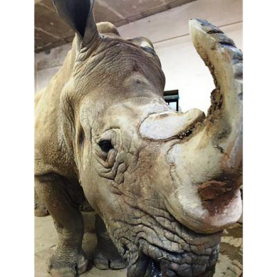 福岡市動物園ブログ: サイの「ロック」。今日も泥浴び?!