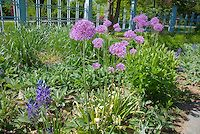 Allium ornamental onion with Camassia quamash, Stachys with blue fence | Plant & Flower Stock Photography: GardenPhotos.com