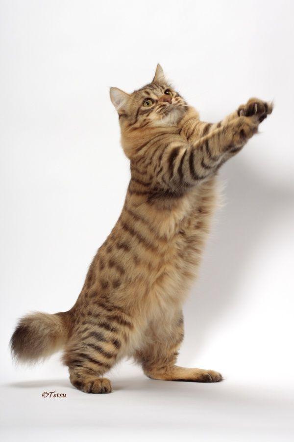 10 Short Tail Cat Breeds Around The World Katzenrassen Katzen