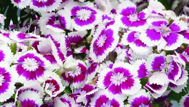 Fragrant Dianthus 'Diabunda™ Purple Picotee' has a striking color combination.