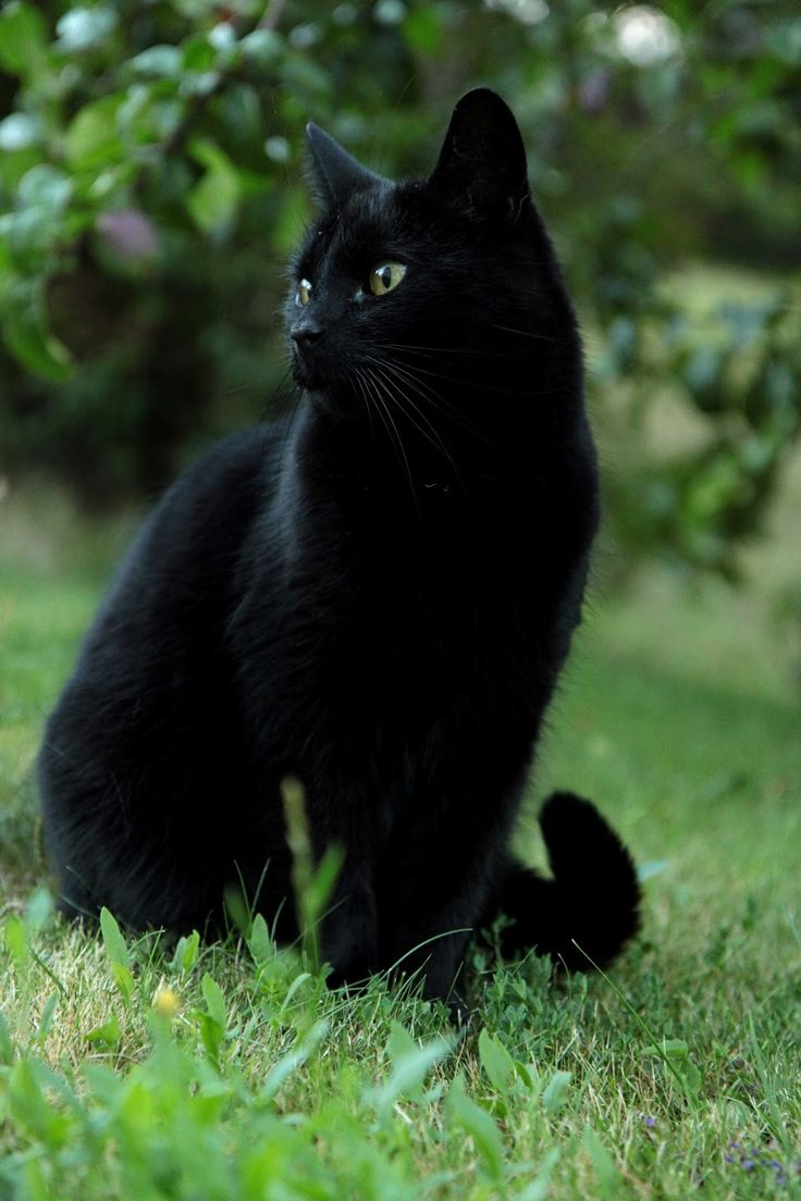 Beautiful black cat ♥️