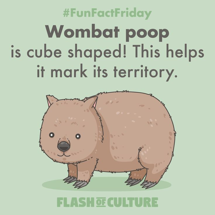 FUN FACT: Wombat poop is cube shaped! This helps it mark its territory.