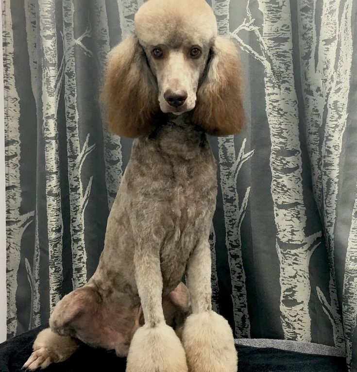 Red standard poodle puppies mississippi
