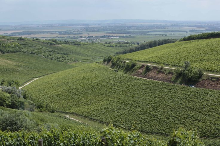 Bock Cellars' Black Mountain Vineyards, the red wine region of Villany, Hungary.  Known for the the world's best Cabernet Franc!