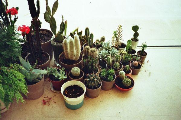 cactus em pequenos vazinhos
