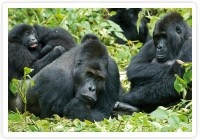 Trekking with to see the H group of Gorillas in Uganda.