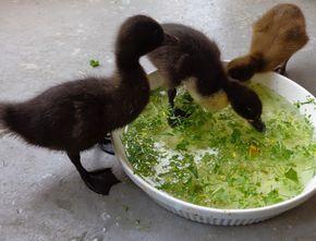 Basic Duckling Care - Raising Healthy Happy Ducks | Fresh Eggs Daily®