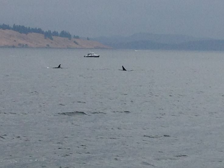 Whale watching Vancouver Island