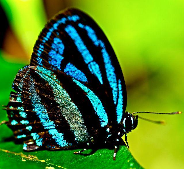 Blue hair streak Butterfly (Thestius sp.)