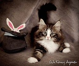 Kot Norweski Leśny - Z Krainy Asgardu*PL
