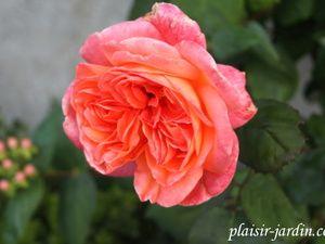 b9. Les rosiers en Re.
