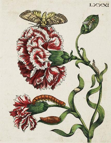 Maria Sibylla Merian  Botanical  1730