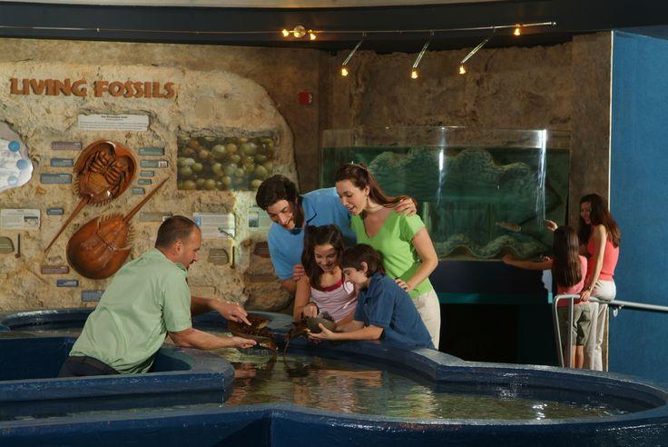 Horseshoe Crab Ripley 39 S Aquarium Myrtle Beach
