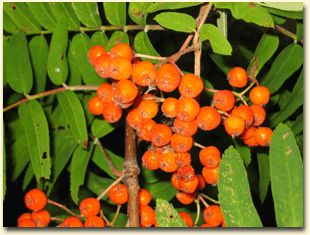 A bunch of Rowan Berries, Mountain Ash (Sorbus aucuparia)