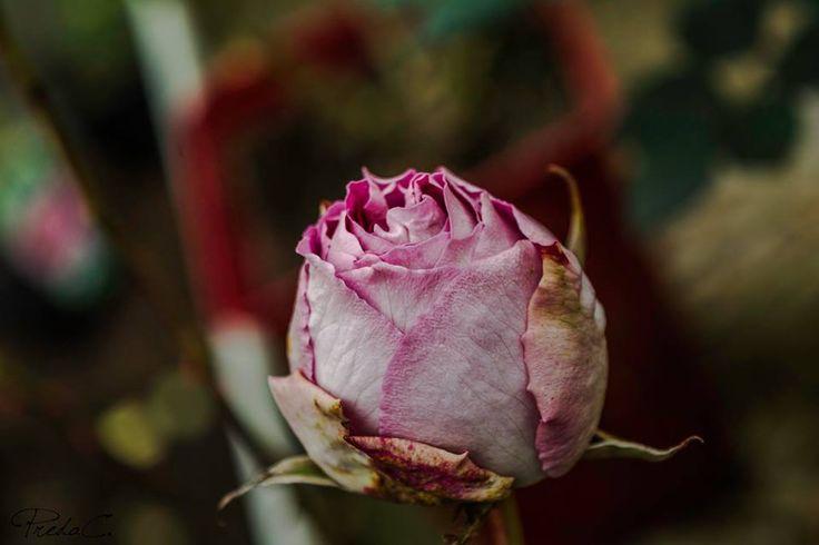 #OldCity #Flowers #Roses #Roseraie #France #Provins #CityofRoses #Garden #LittleRoses #BabyRoses