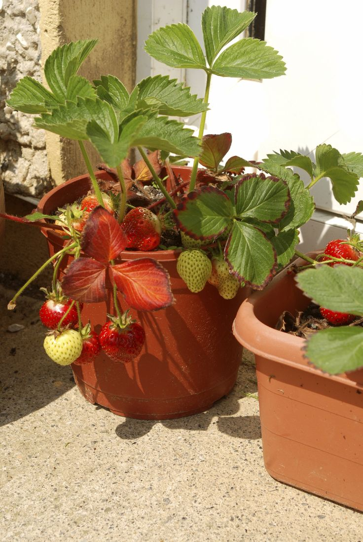Growing strawberries in gutters diy idea - Container Gardening Strawberries Care Of Strawberry Plants In Pots