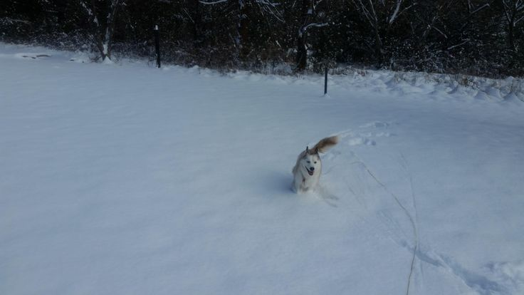 Subi (husky/corgi mix) doesn't get to see it often but she loves the snow! #Cute