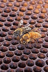 An Africanized honey bee (left) and a European honey bee on honeycomb. Link to USDA information.
