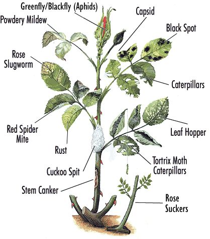 I know I have had rose bushes that had at least a few of these disease wrong with them, thank you World In Green for putting them all in the same place!
