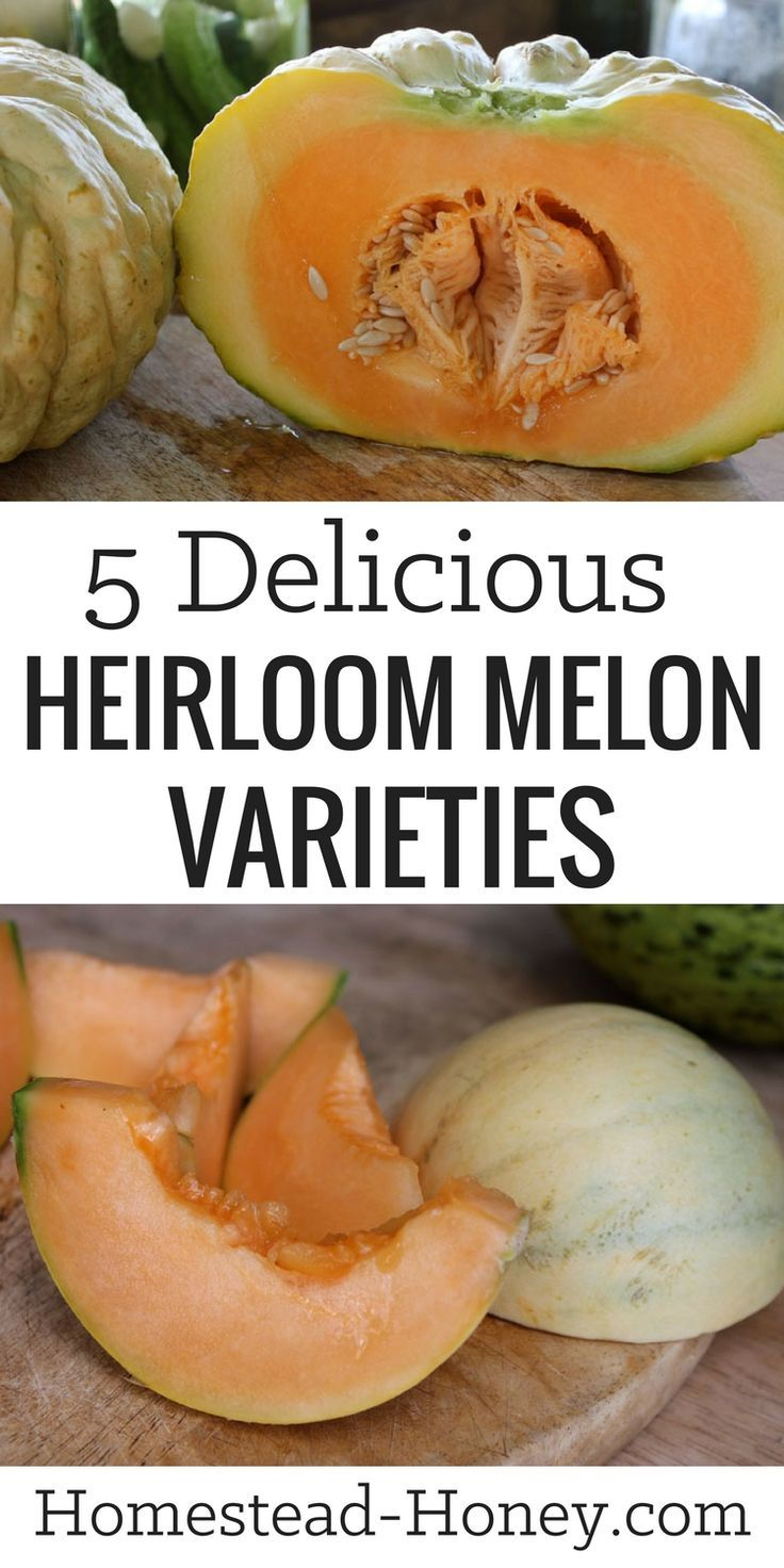 Sweet, delicious, and easy to grow, heirloom melons are a must-grow in your summer garden. Here are picks for the 5 most delicious heirloom melon varieties. | Homestead Honey