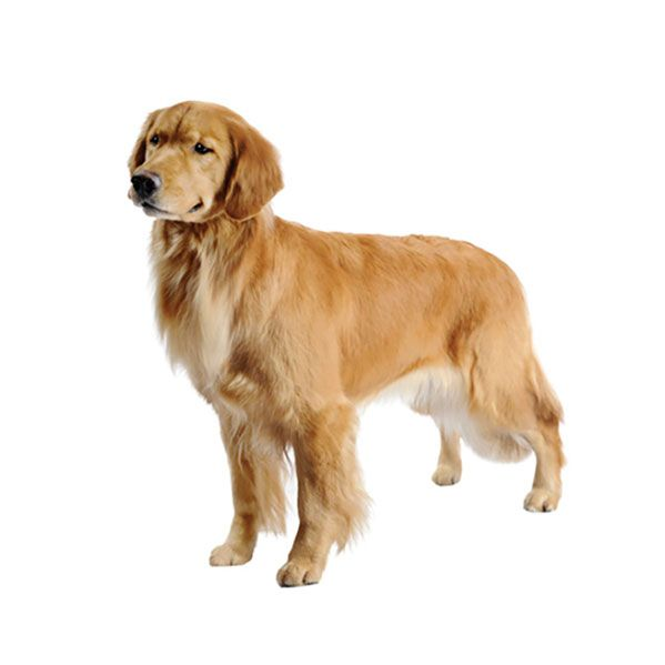 I Just Love The Darker Color Of This Golden Retriever S Coat My