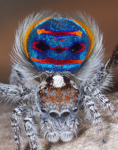 Peacock spider Maratus speciosus... I would have this as a pet. Would you?