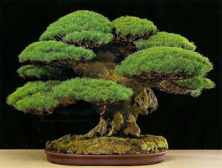 黒松盆栽:Kuro-matsu