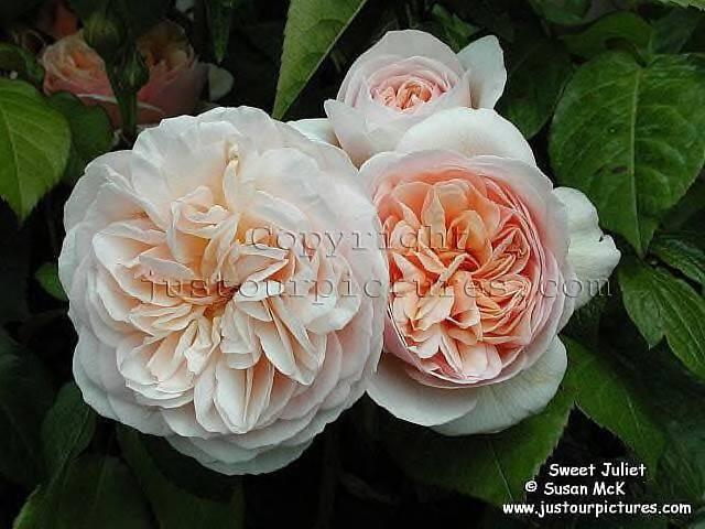 Cream Garden Rose 62 best garden roses images on pinterest | garden roses, flowers