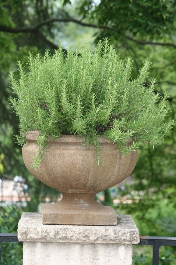 Rosemary does well in containers - 16 plants to grow in containers