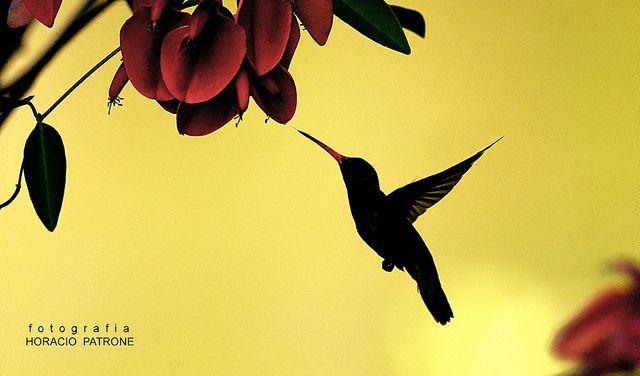 CONTRALUZ COLIBRI en flor de CEIBO. -Costanera Norte - - HORACIO JOSE PATRONE