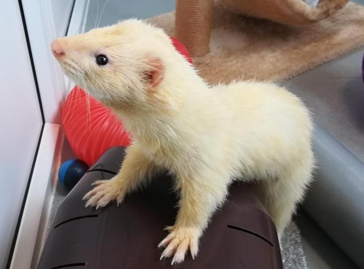 Dudley Find A Pet Rspca Org Uk Ferret Colors Rehoming Pets