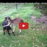 A Kangaroo Giving Rottweiler A Massage? (Video)  This is one of a kind video that you should not miss. Do you beli ..  http://www.dogisto.com/kangaroo-giving-rottweiler-massage/