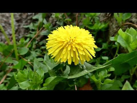 MICRODACISM: Lessons of the Dandelion and the Ants