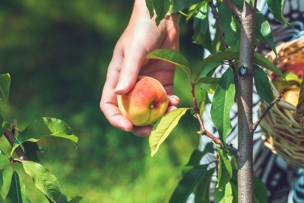 Fruit Trees For Zone 9b Fruit Trees In Containers Fruit Trees Fruit Garden Plans