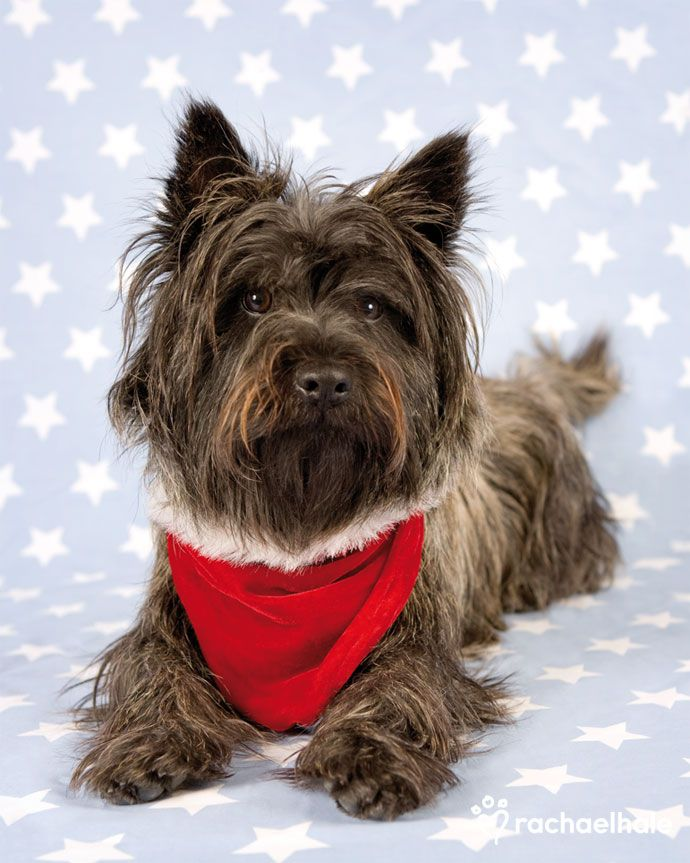 These dogs are so much fun….I love Cairns.  Scamp (Cairn Terrier) - Santa's star helper