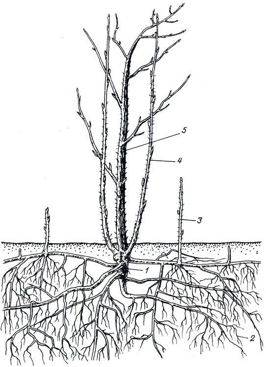 Строение куста малины: 1 — корневище; 2 — корни; 3 — корневой отпрыск; 4 — однолетний неплодоносивший побег замещения; 5 — двухлетний отплодоносивший стебель