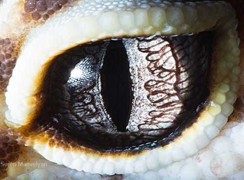 Gecko Eublepharis - Suren Manvelyan
