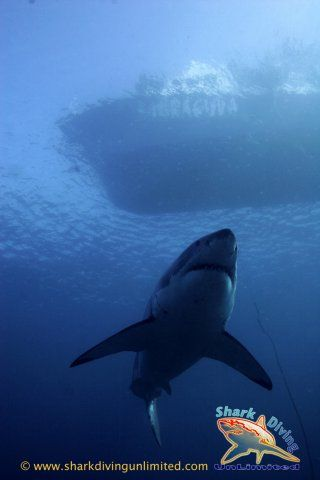Great White Shark....love this perspective.