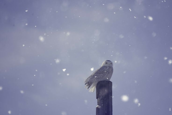 SnowyOwl 3 by Amber Harloff on 500px