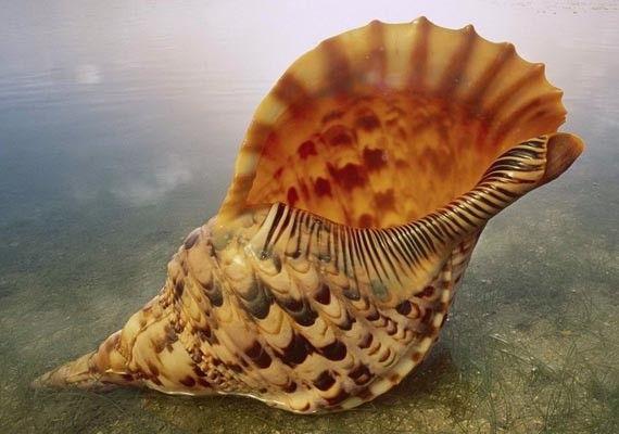 """Seashell Supply - Giant Caribbean Triton Seashell (10-12""""), $79.00 (http://www.seashellsupply.com/giant-caribbean-triton-seashell-10-12/)"""