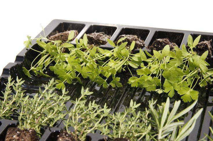 Verse peterselie, thijm en rozemarijn planten. geschikt om direct in je tuin te planten