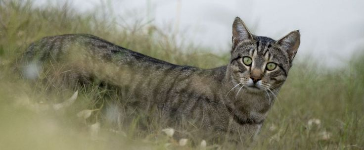A new study has found that trapping and culling might not be the best solution to Australia's feral cat problem - the practice can actually cause an increase in their numbers. Of all the feral animals currently eating, stomping, and hunting their...