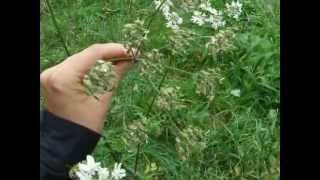 Eating weeds: meet common hogweed, and its highly aromatic seeds! How to identify and use wild foraged common hogweed seeds.