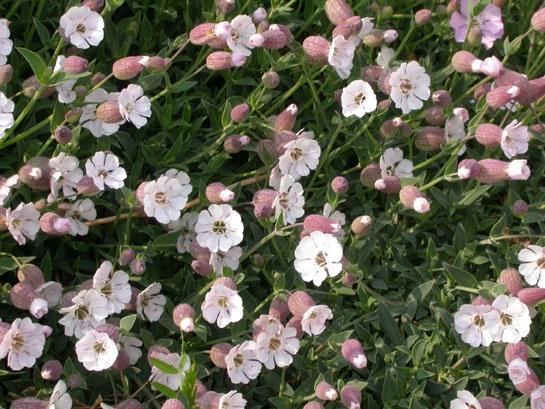 Silene uniflora 'compacta'