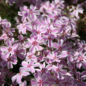 Phlox 'Candy Stripes', Mossflox