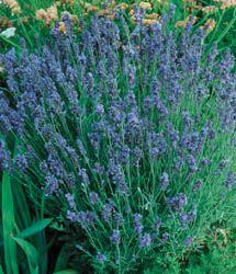 Lavandula - Lavender Lady...