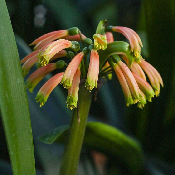 Clivia robusta, Dark Orange.  Colorado Clivia's plant number 1863.