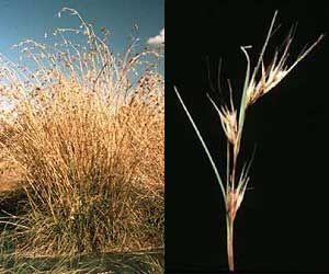 Kangaroo grass http://www.depi.vic.gov.au/__data/assets/image/0004/196969/AG720_kangaroo-grass.jpg