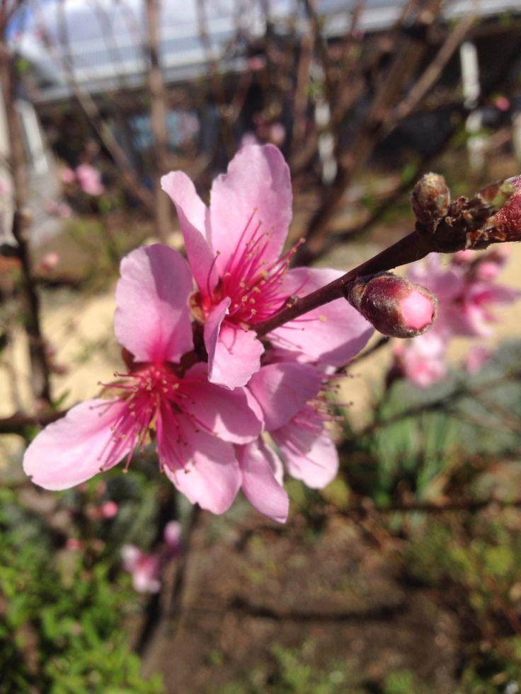 Peach tree in blossom, springtime