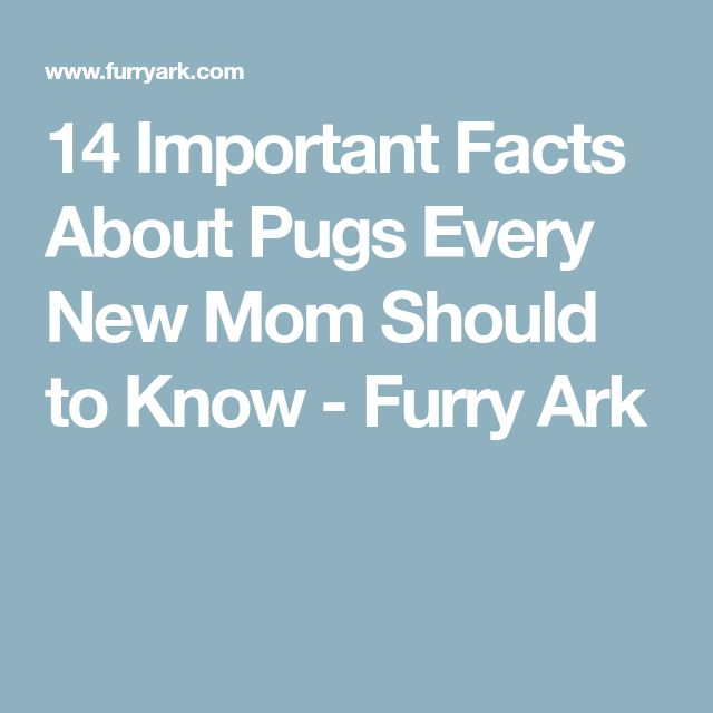 14 Important Facts About Pugs Every New Mom Should to Know - Furry Ark